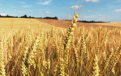 [Agriculture] Zoom sur le traitement du blé contre le piétin-échaudage